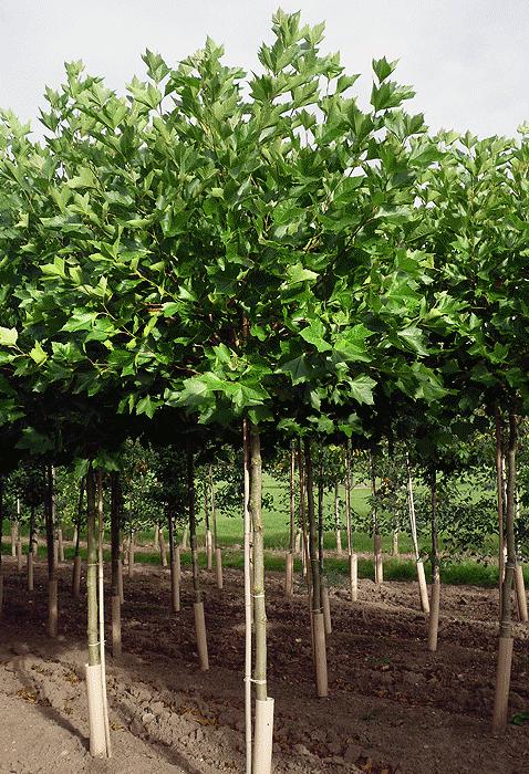Specimen trees for Specimen trees